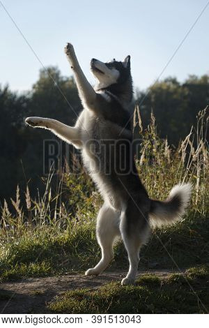 Dancing Fleecy Grey And White Dog Of Siberian Husky Breed By Tall Grass In Summer Outdoors