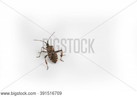 The Cockroach Bug On A White Background