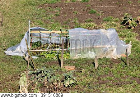 Local Home Urban Garden With Organic Light Green Layered Lettuce Or Lactuca Sativa Annual Plants Gro