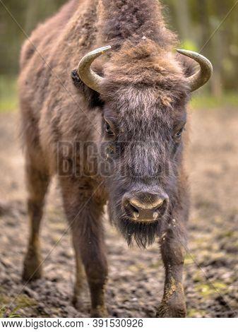 Portrait Of European Bison. Juvenile Wisent (bison Bonasus) Walking Towards Camera.
