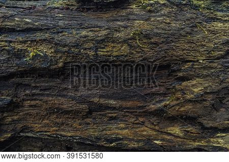 Old Rotten Wet Wood Texture. Background Of Rotten Wood Close Up. Wet Rotten Tree Stump Texture