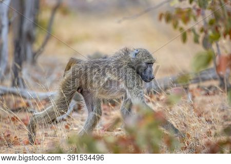 Chacma Baboon Walking In Savannah In Kruger National Park, South Africa ; Specie Papio Ursinus Famil