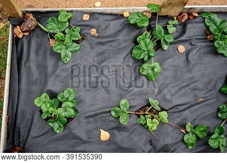 Young Seedlings Of The Bush Are Planted On A Bed Covered With Black Non-woven Fabric.