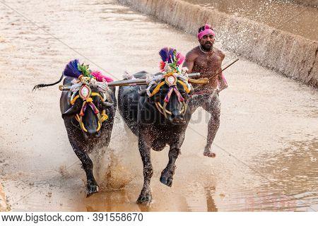 Mangalore, Karnataka, India - December 7, 2019: Kambala or Kambla, an annual buffalo race sport conducted at paddy fields in Karnataka state, India