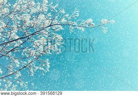 Winter Christmas background with winter frosty tree under winter snowfall. Winter Christmas tree. Winter Christmas snowy tree branches against winter sunny sky. Winter nature background