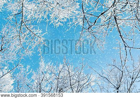 Winter background. Frosty winter  branches of the winter trees against blue sky, winter forest landscape, winter forest trees. Sunny winter nature, winter tree tops with winter frost