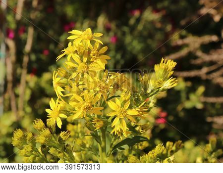 Goldengende Or Solidago Virgaurea In An Organic Garden. Goldenrod Is Used To Reduce Pain And Swellin