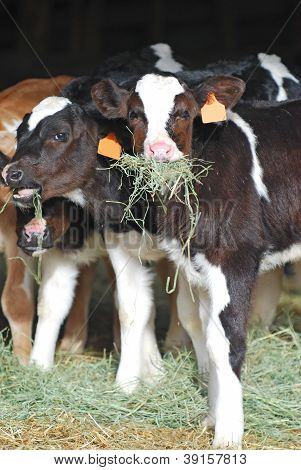 Holstein Dairy Calves Eating Hay
