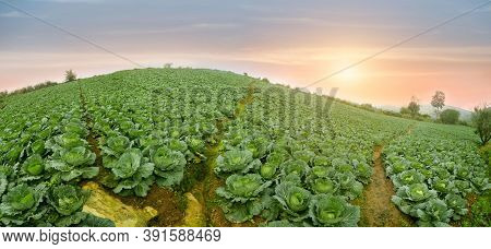 Cabbage Field In A Sunset Light. Beautiful Vivid Agriculture Field In Rural Area. Landscape Travel T