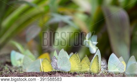 Group Of Butterflies Puddling On The Ground And Flying In Nature, Thailand Butterflies Swarm Eats Mi