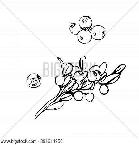 Hand Drawn Branch Bilberry Berries With Leaves On White Background. Vector Illustration. Shop Sketch