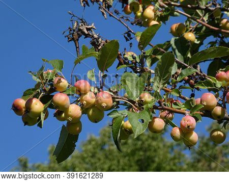 Many Apples On The Apple Tree Branch