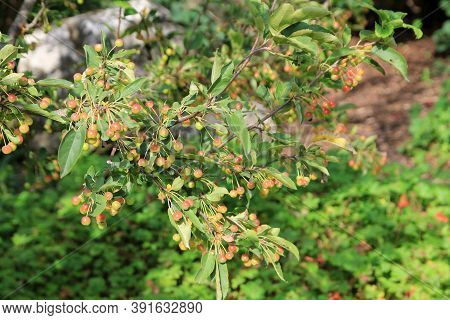 Many Red Rowan Berries On The Branches Of Bush