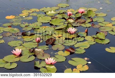 Many Colorful Lotuses On The Water Surface