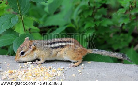 Chipmunk Sitting On The Stone Fence And Eating Seeds