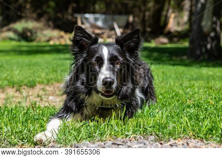 Portrait Of Border Collie Dog Breed Sitting And Resting While Lying On Grass In Park With No People