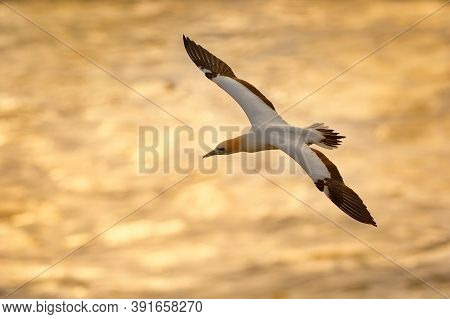 Sula Serrator - Australian Gannet - Takapu Flying Above The Nesting Colony In New Zealand. Blue Sky