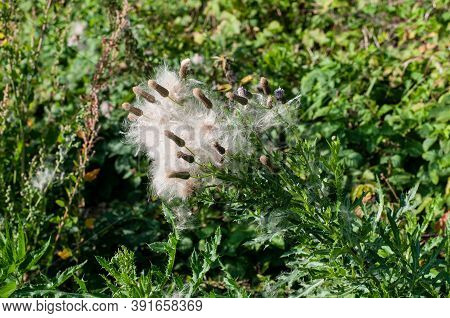 The Wilted Flower Heads Of A Creeping Thistle With Fluffy Soft Seeds