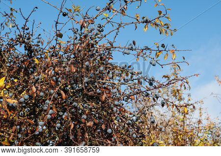 Blackthorn Berries Or Sloes Wet From Rainy Night In Morning Sunlight In Autumn