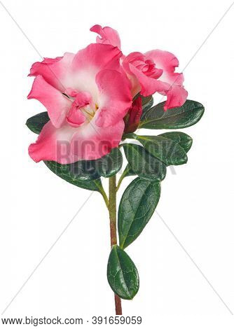 azalea branch with large pink blooms isolated on white background