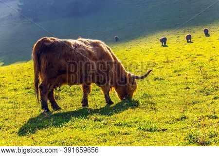 Picturesque thoroughbred horned Scottish bulls graze on a grassy pasture. Logarska Valley, Slovenia. Magnificent golden autumn in the mountains. Eastern Europe, Alps. Sunny day