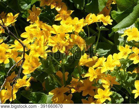 Many Yellow  Flowers As A Natural Background