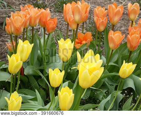 Many Colorful Tulips On Flower Bed As A Floral Background