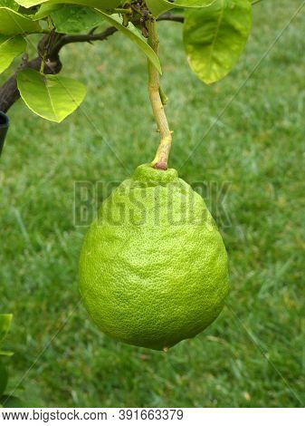 Big Green Lemon On The Tree Branch