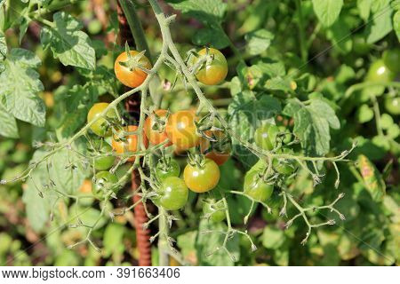 Red Cherry Tomatoes On The Bush's Branch