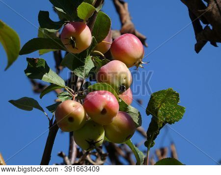 Apple On The Branch Of Apple Tree