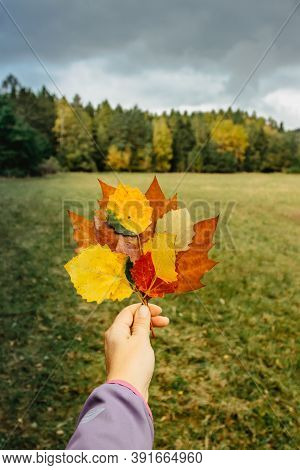 Hand Holding Beautiful Colorful Autumn Leaves On Dark Brown Wood. Autumn Vibrant Colors. Close-up Of