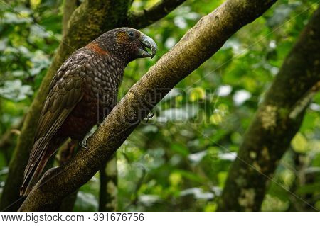 Kea Bird, A New Zealand Endemic Parrot Posing In Profile On A Tree Branch.