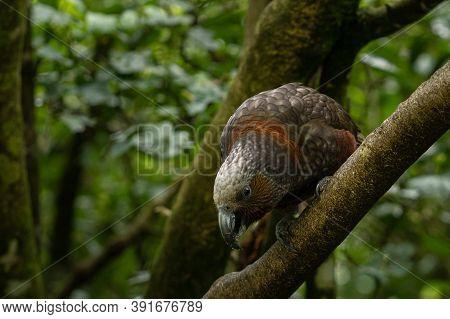 New Zealand Kea Parrot Standing On A Tree Brunch