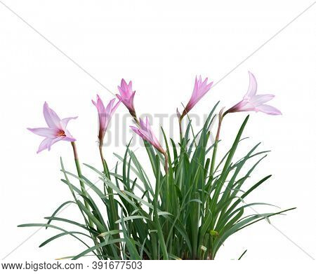Pink rain Lily (Zephyranthes rosea) Flowers isolated on white background