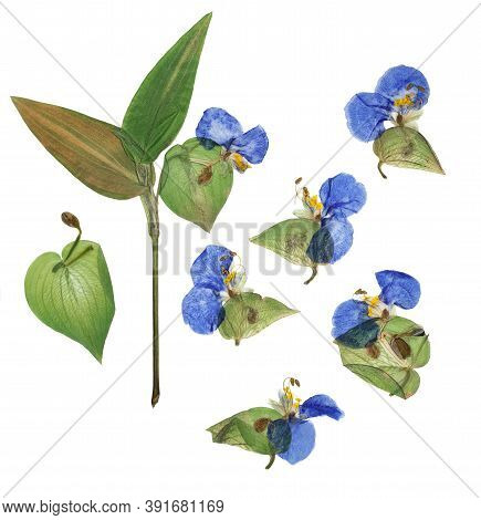 Pressed And Dried Flower Commelina Communis Or Asiatic Dayflower Isolated On White Background. For U
