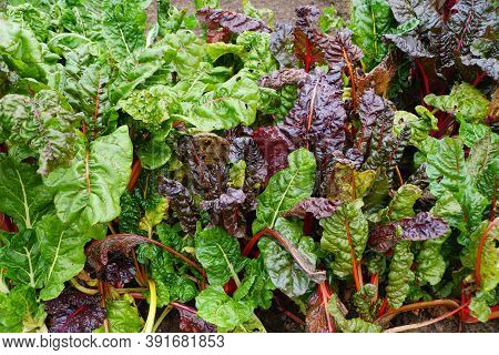 Fresh Green And Purple Color Of Swiss Chard 'bright Lights'