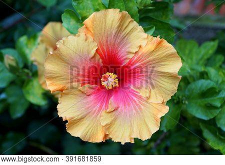 Beautiful Yellow And Red Chinese Hibiscus 'orange Truffle' Flower
