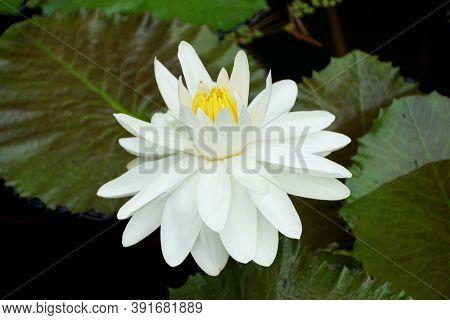 Beautiful White Tropical Night-flowering Waterlily Flower 'missouri'