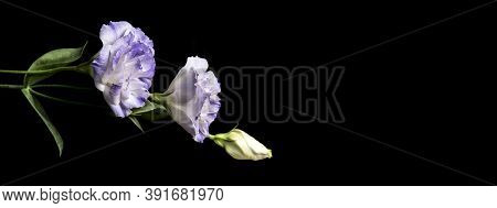 White Flowers On Black Background. The Concept Of Mourning And Sorrow. Copy Space For Text. Selectiv