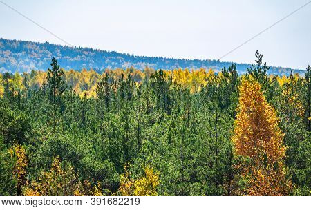 Layers Of Green Pine And Yellow Deciduous Forest On A Mountainside. Mixed Deciduous And Coniferous F