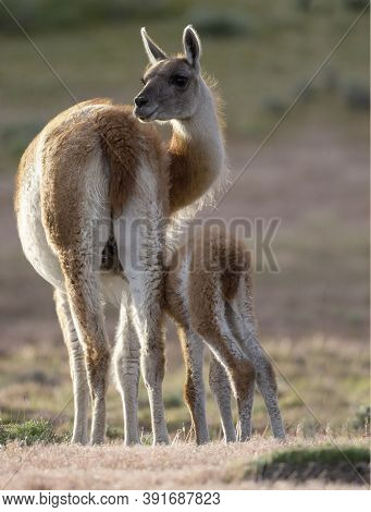 Portrait Of A Guanaco With Its Baby Calf, Guanaco Mammal With Its Baby Calf