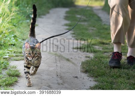 Walking A Cat On A Leash. The Owner And The Animal Are Walking Along The Road. Sun Ray.