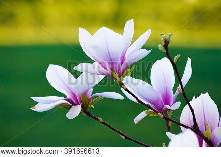Pink Magnolia On The Green Background. Beautiful Nature Background In Springtime. Bright Sunny Day