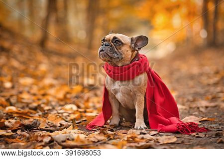 French Bulldog Dog Wearing Red Scarf Sitting In Forest Covered In Orange Autumn Leaves