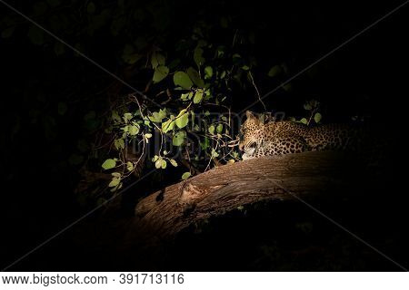 Wild Leopard Sprawled Over The Tree Branch At Night
