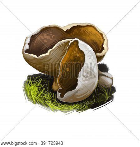 Disciotis Venosa Bleach Cup, Veiny Cup Fungus Morel, Species Of Fungus In Family Morchellaceae. Edib