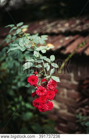 Group Of Small Pink Roses With Blurred Background. Copy Space