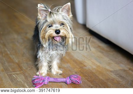 Dog Playing With Colorful Dog Toy - Cotton Rope For Games Inside. Yorkshire Terrier Puppy Standing O