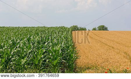 Green Corn And Yellow Wheat Agriculture Field