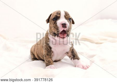 Staffordshire Terrier One-month Puppy Dog. Sleepy Young Puppy Dog Sitting On White Blanket. Puppy Do